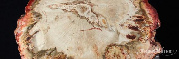 Bois fossile (Bois pétrifié, Bois silicifié)