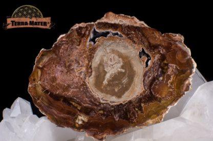 Tranche de bois fossile