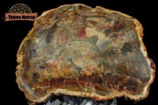 Grande tranche de bois fossile